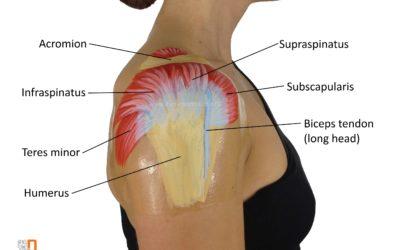 Cuffia dei Rotatori: perché è così importante per la spalla